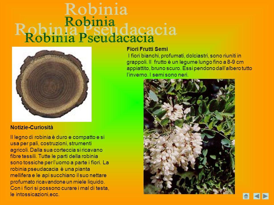 Robinia Robinia Pseudacacia Fiori Frutti Semi