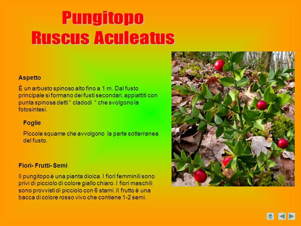Pungitopo Ruscus Aculeatus Aspetto