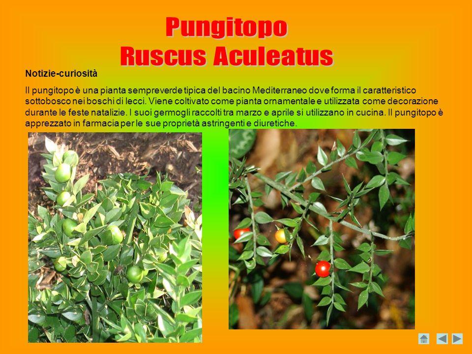Pungitopo Ruscus Aculeatus Notizie-curiosità