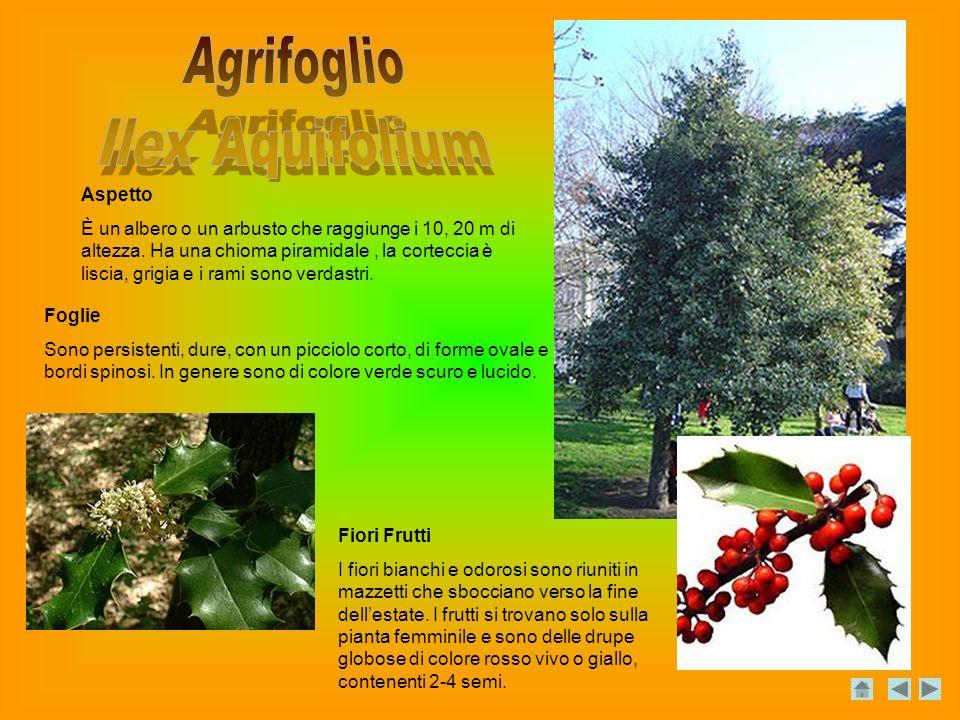 Agrifoglio Ilex Aquifolium Aspetto