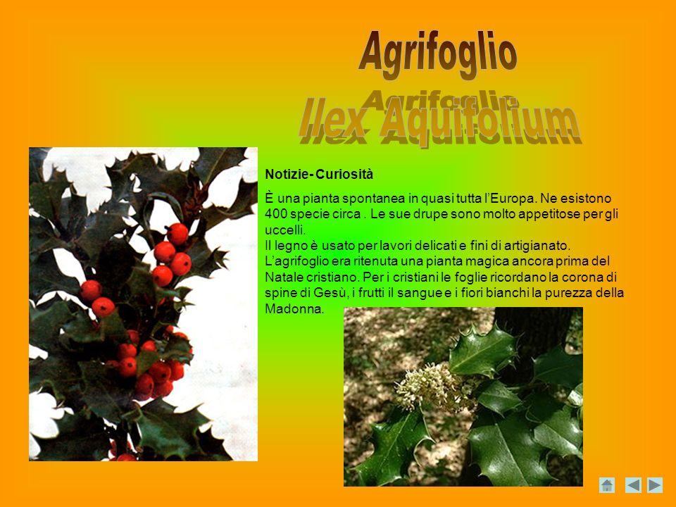 Agrifoglio Ilex Aquifolium Notizie- Curiosità