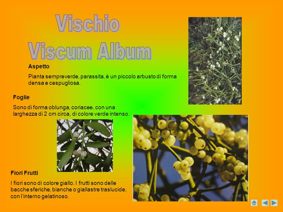 Vischio Viscum Album Aspetto