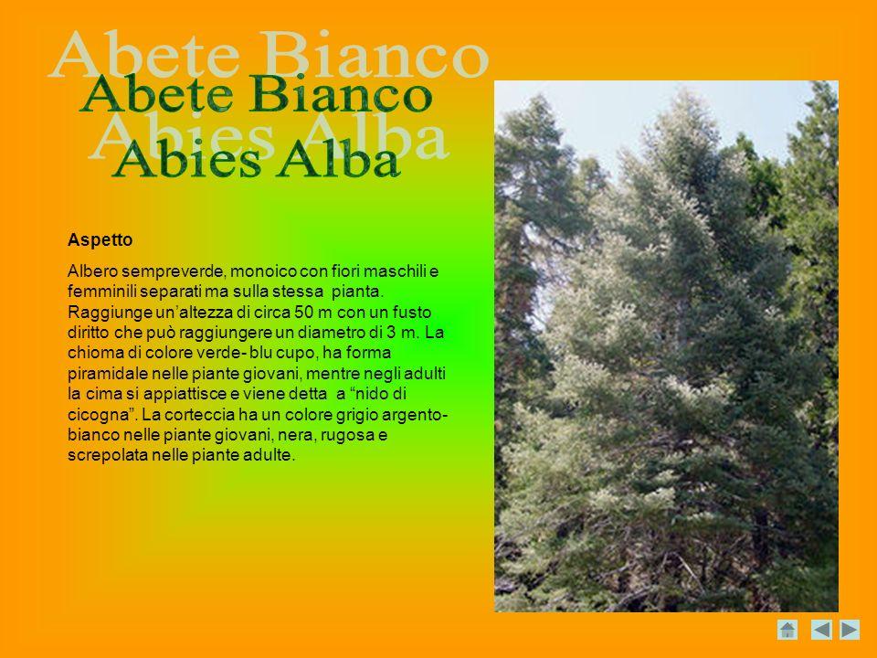 Abete Bianco Abies Alba Aspetto