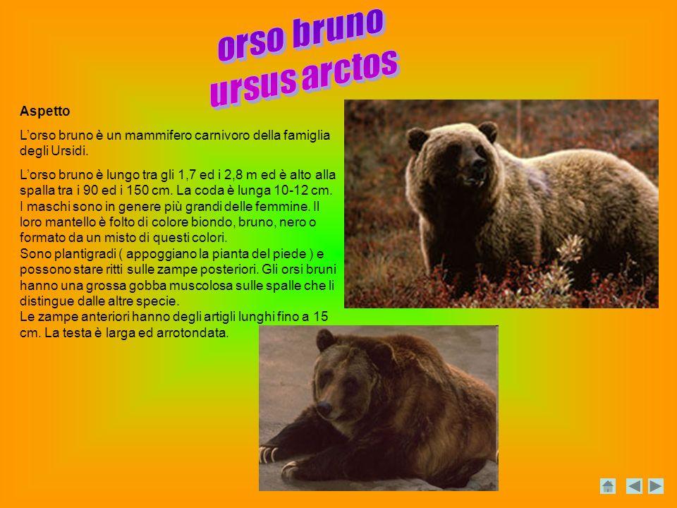 orso bruno ursus arctos Aspetto