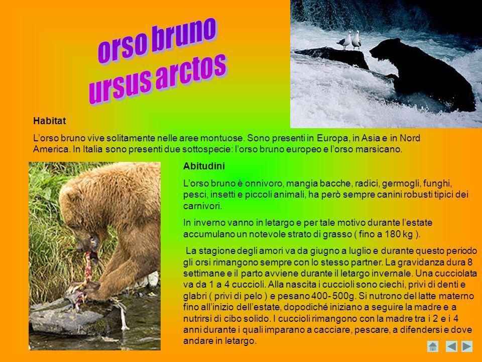 orso bruno ursus arctos Habitat