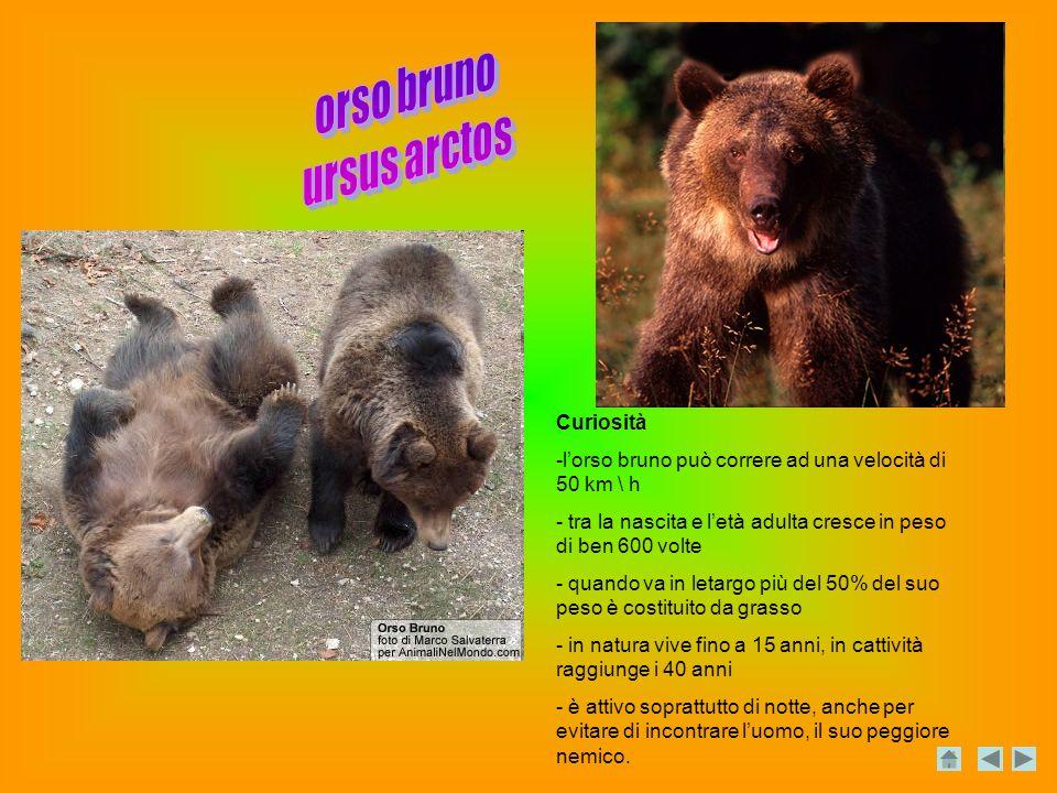 orso bruno ursus arctos Curiosità