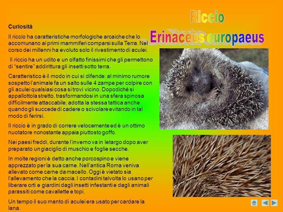 Riccio Erinaceus europaeus Curiosità
