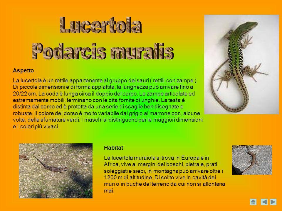 Lucertola Podarcis muralis Aspetto