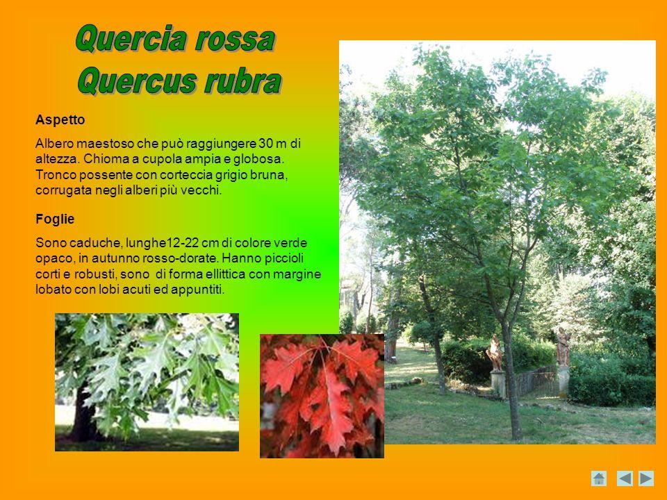 Quercia rossa Quercus rubra Aspetto