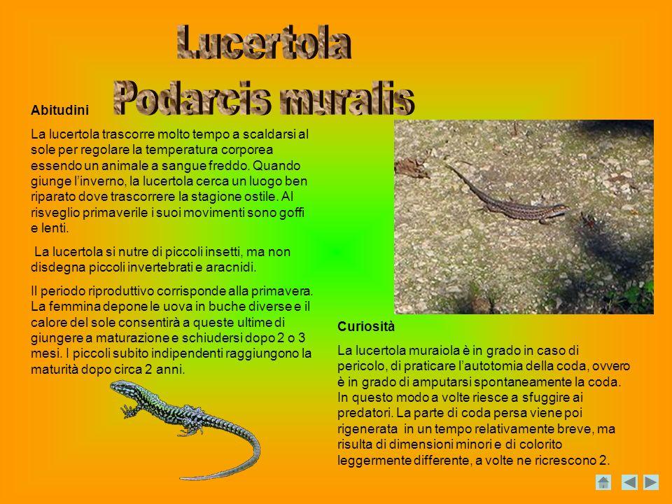 Lucertola Podarcis muralis Abitudini
