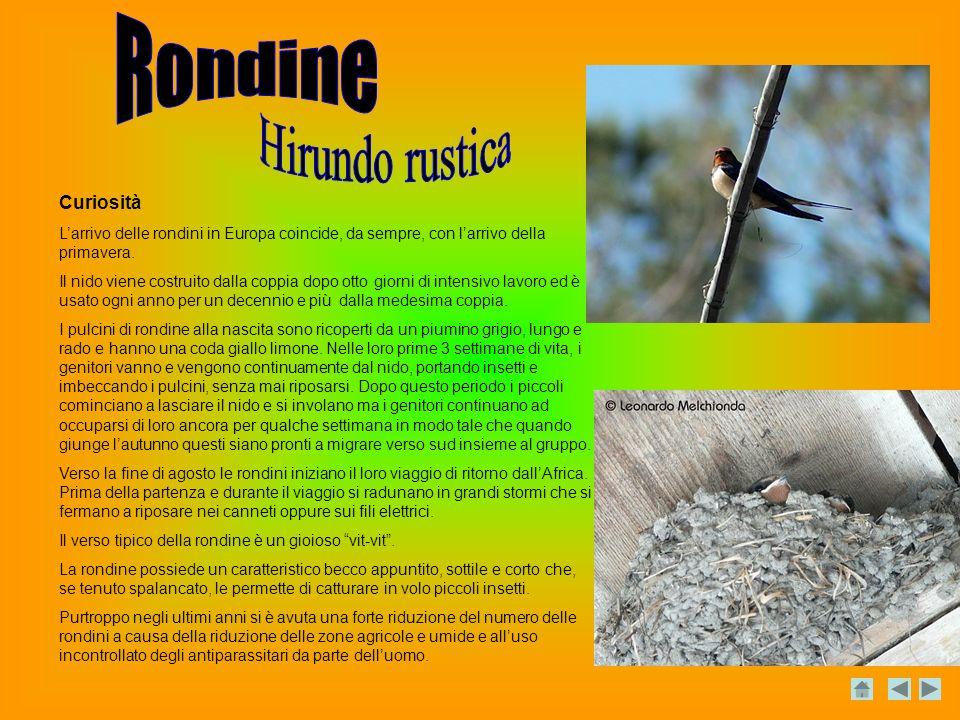Hirundo rustica Rondine Curiosità
