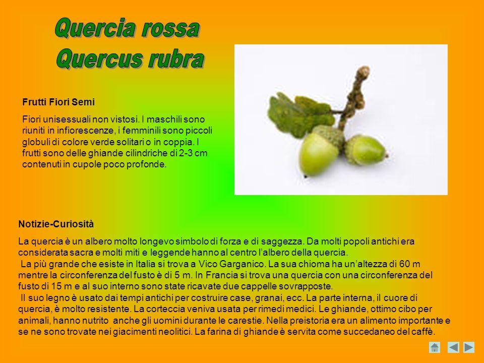 Quercia rossa Quercus rubra Frutti Fiori Semi