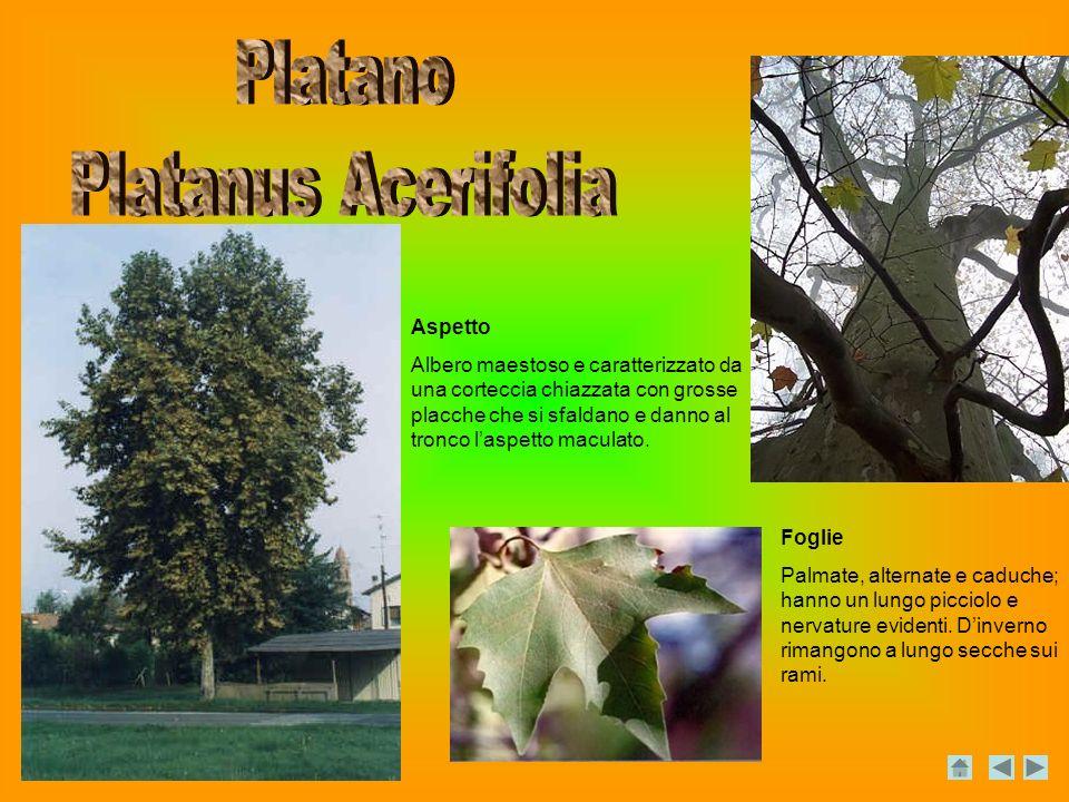 Platano Platanus Acerifolia Aspetto