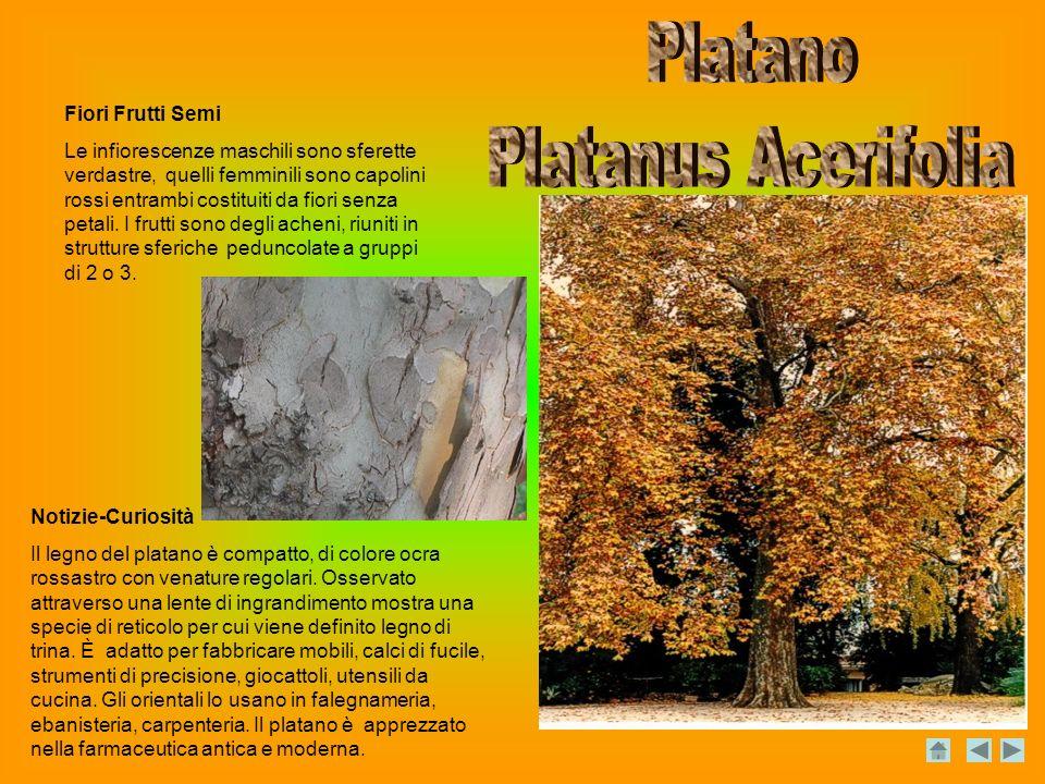 Platano Platanus Acerifolia Fiori Frutti Semi