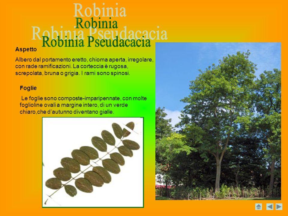 Robinia Robinia Pseudacacia Aspetto