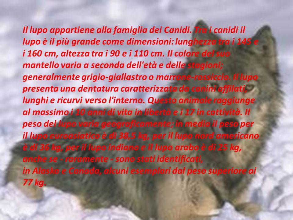 Il lupo appartiene alla famiglia dei Canidi