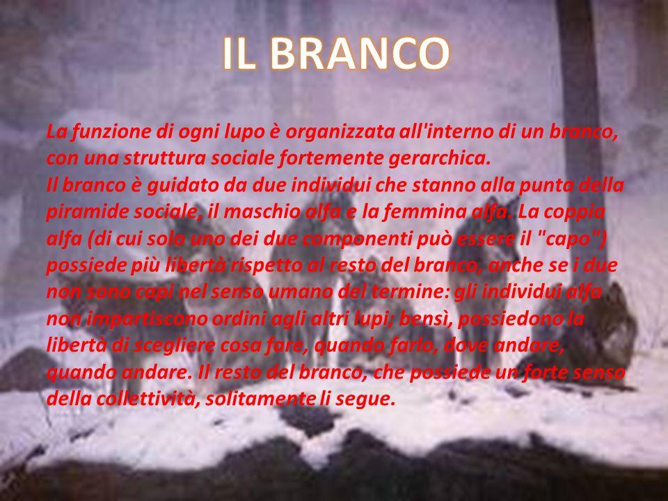 IL BRANCOLa funzione di ogni lupo è organizzata all interno di un branco, con una struttura sociale fortemente gerarchica.