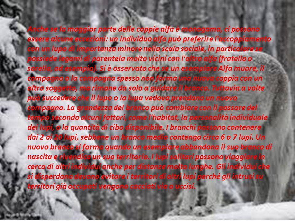Anche se la maggior parte delle coppie alfa è monogama, ci possono essere alcune eccezioni: un individuo alfa può preferire l accoppiamento con un lupo di importanza minore nella scala sociale, in particolare se possiede legami di parentela molto vicini con l altro alfa (fratello o sorella, ad esempio).
