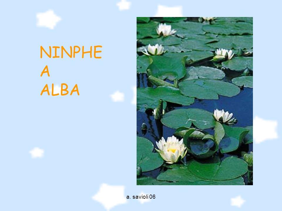 NINPHEA ALBA a. savioli 06