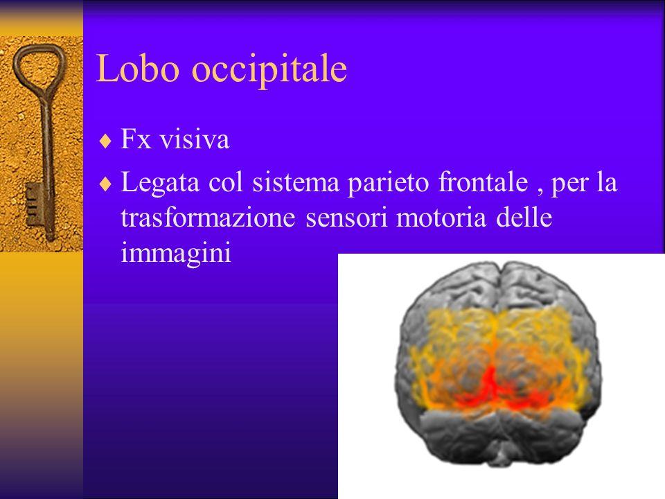 Lobo occipitale Fx visiva