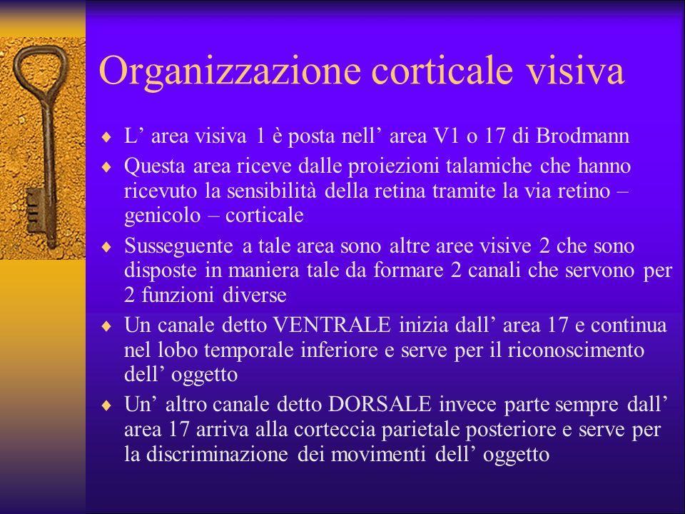 Organizzazione corticale visiva