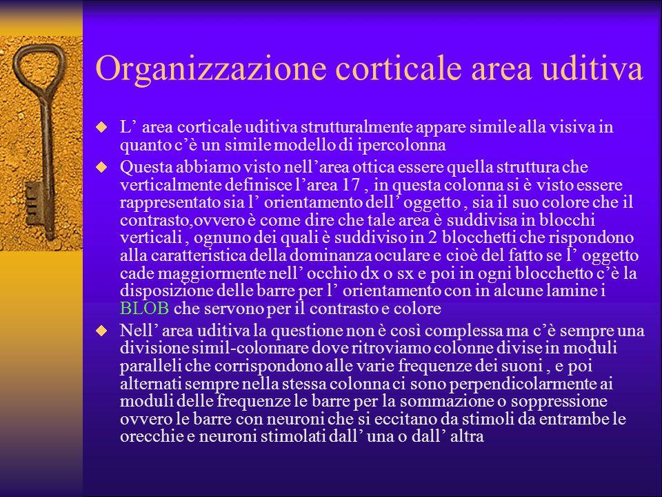 Organizzazione corticale area uditiva