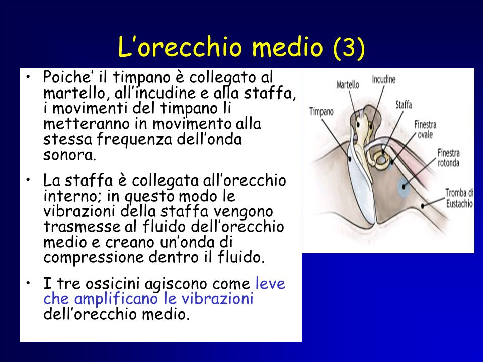 L'orecchio medio (3)