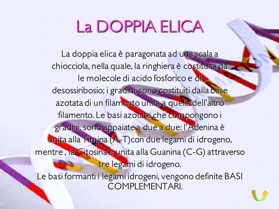 La DOPPIA ELICA La doppia elica è paragonata ad una scala a