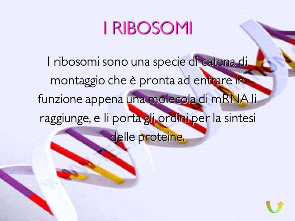 I RIBOSOMI I ribosomi sono una specie di catena di