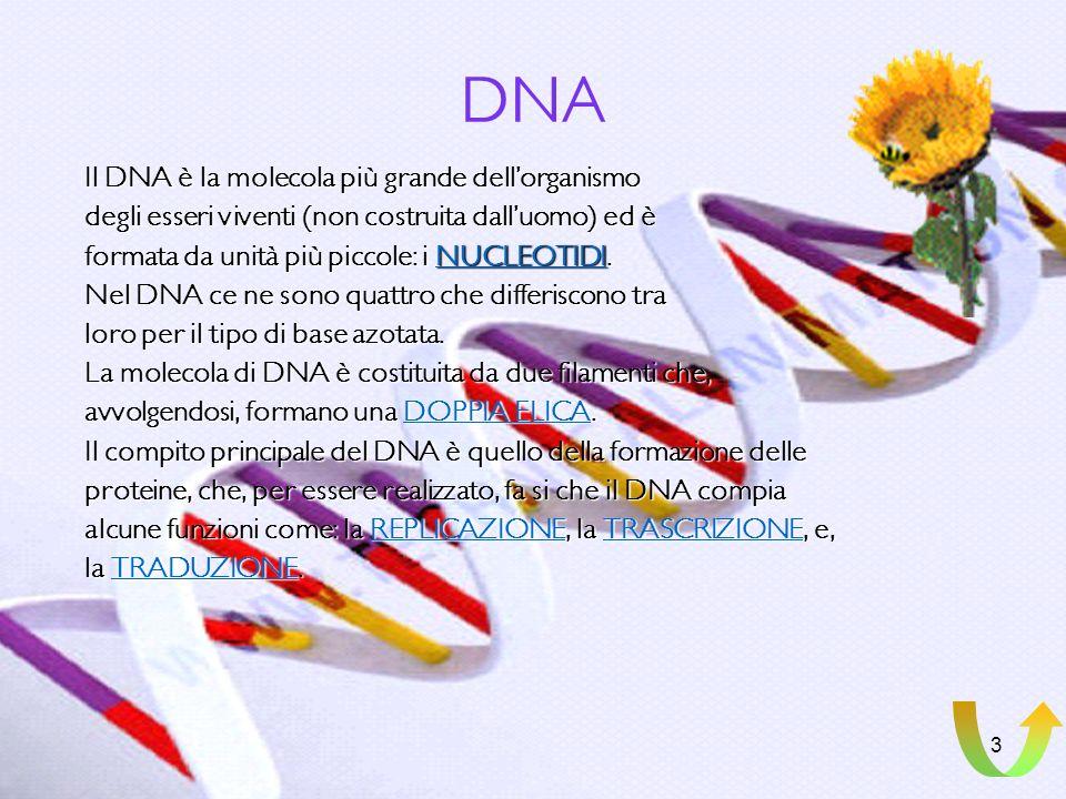 DNA Il DNA è la molecola più grande dell'organismo