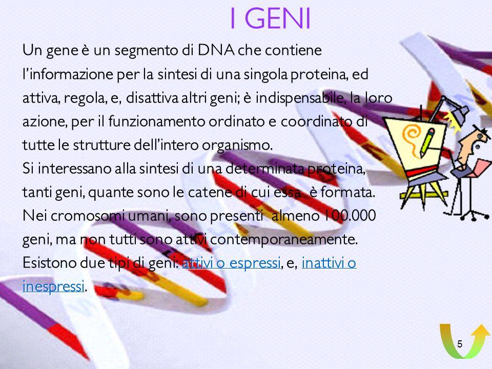 I GENI Un gene è un segmento di DNA che contiene
