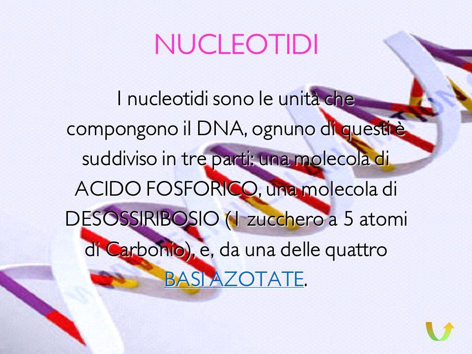 NUCLEOTIDI I nucleotidi sono le unità che
