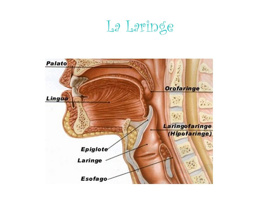 La Laringe