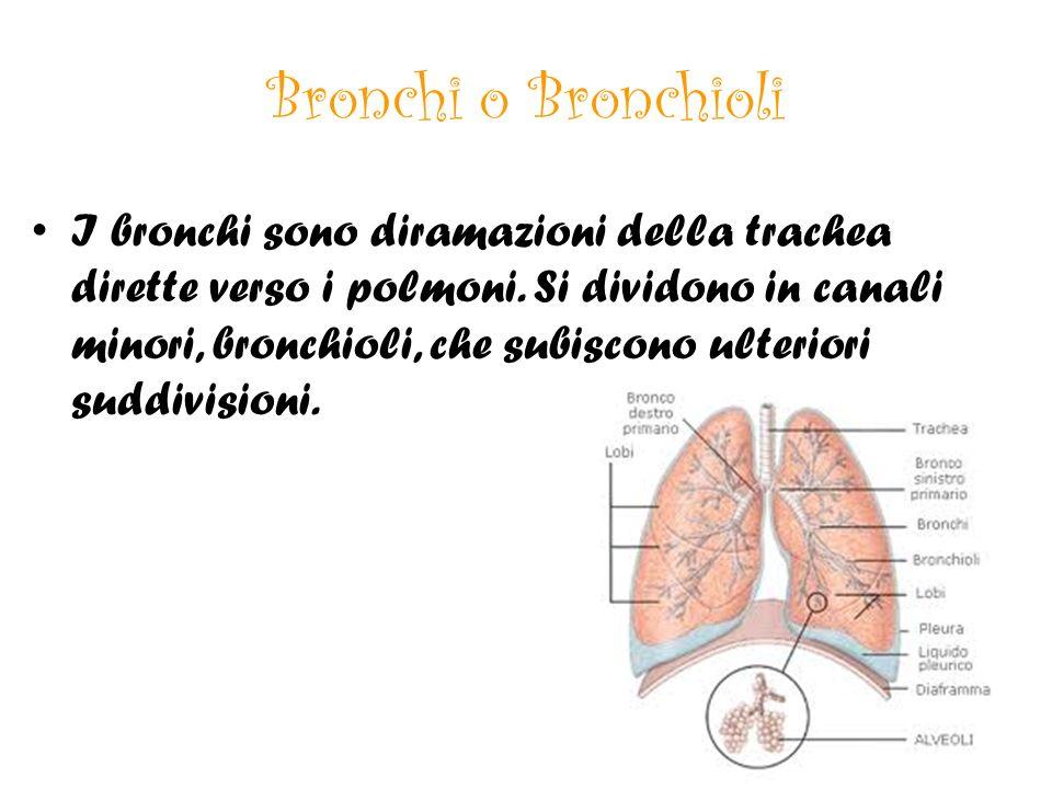 Bronchi o Bronchioli