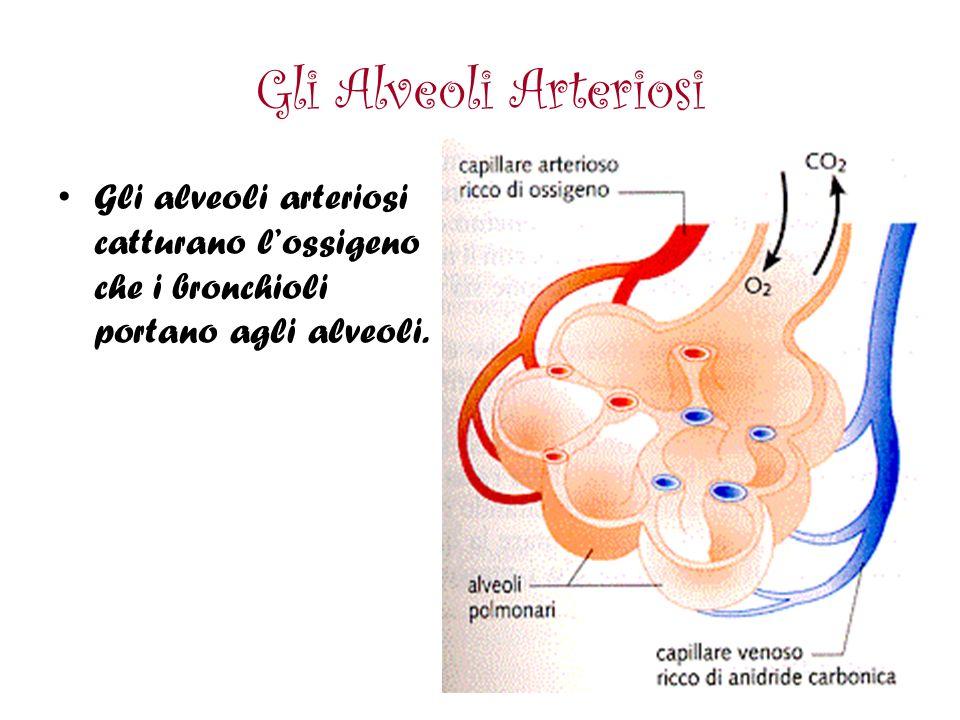 Gli Alveoli Arteriosi Gli alveoli arteriosi catturano l'ossigeno che i bronchioli portano agli alveoli.