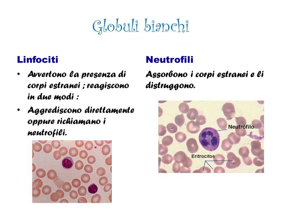 Globuli bianchi Linfociti Neutrofili