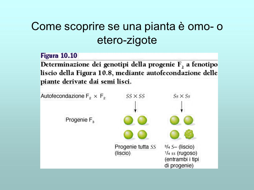 Come scoprire se una pianta è omo- o etero-zigote