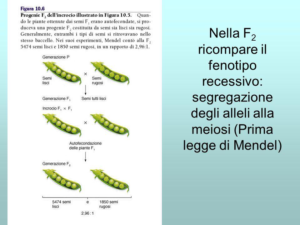 Nella F2 ricompare il fenotipo recessivo: segregazione degli alleli alla meiosi (Prima legge di Mendel)