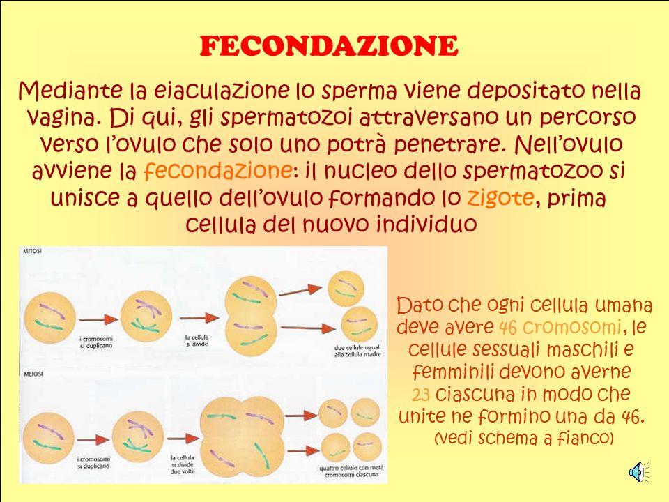 FECONDAZIONE Mediante la eiaculazione lo sperma viene depositato nella