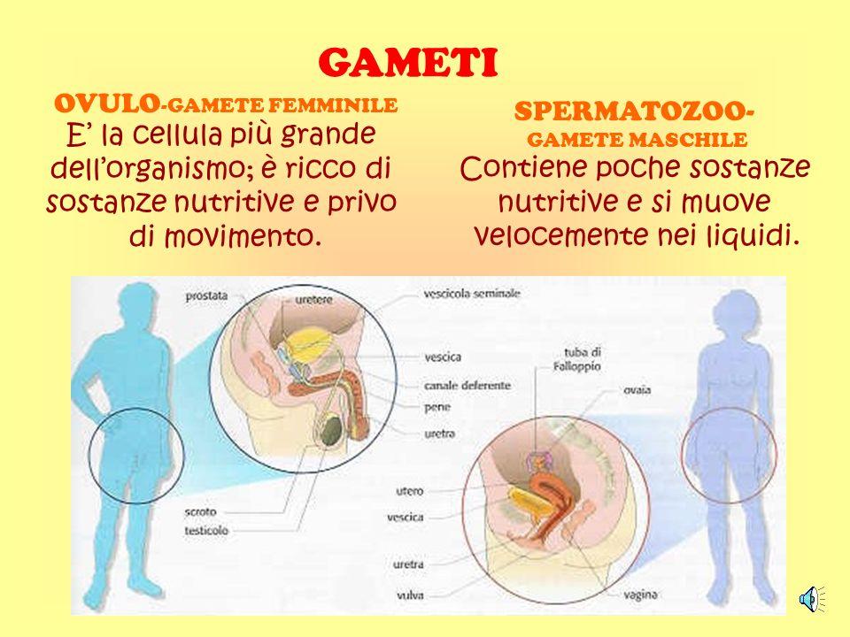 GAMETI SPERMATOZOO- Contiene poche sostanze OVULO-GAMETE FEMMINILE