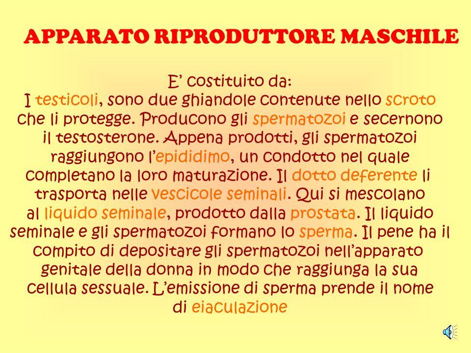 APPARATO RIPRODUTTORE MASCHILE