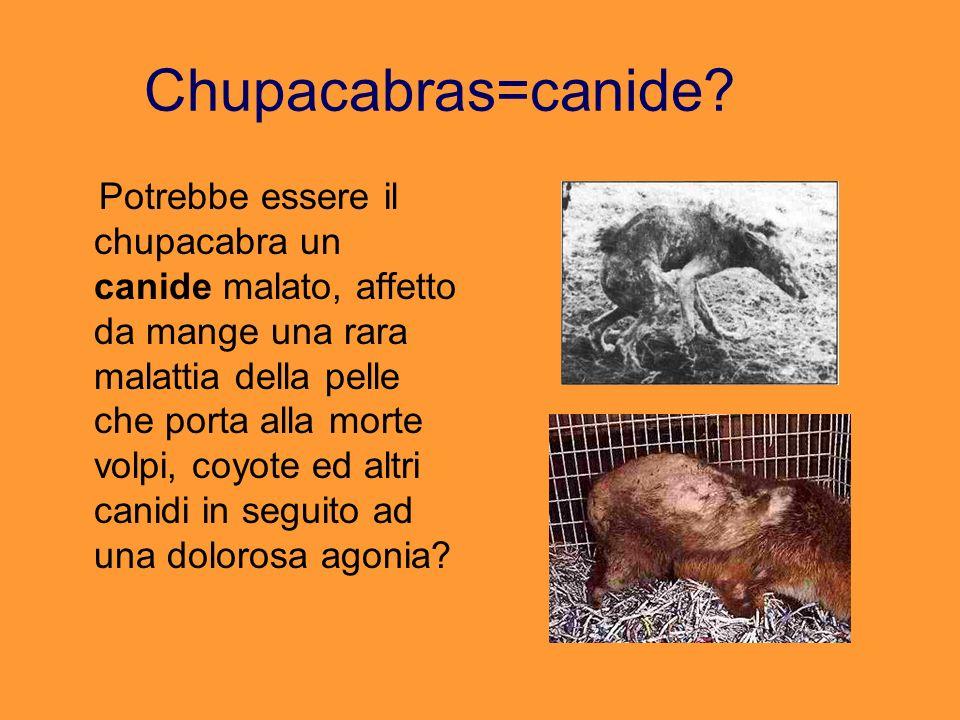 Chupacabras=canide