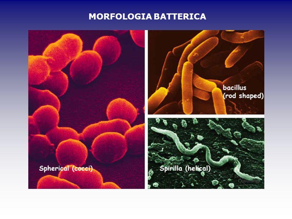MORFOLOGIA BATTERICA