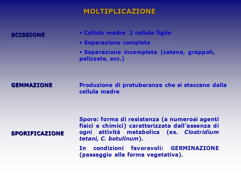 MOLTIPLICAZIONE Cellula madre 2 cellule figlie Separazione completa