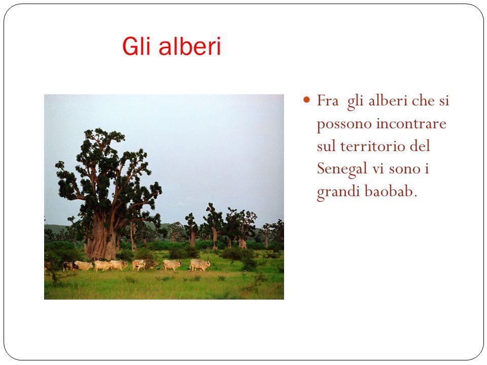 Gli alberi Fra gli alberi che si possono incontrare sul territorio del Senegal vi sono i grandi baobab.
