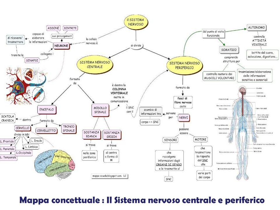 Mappa concettuale : Il Sistema nervoso centrale e periferico