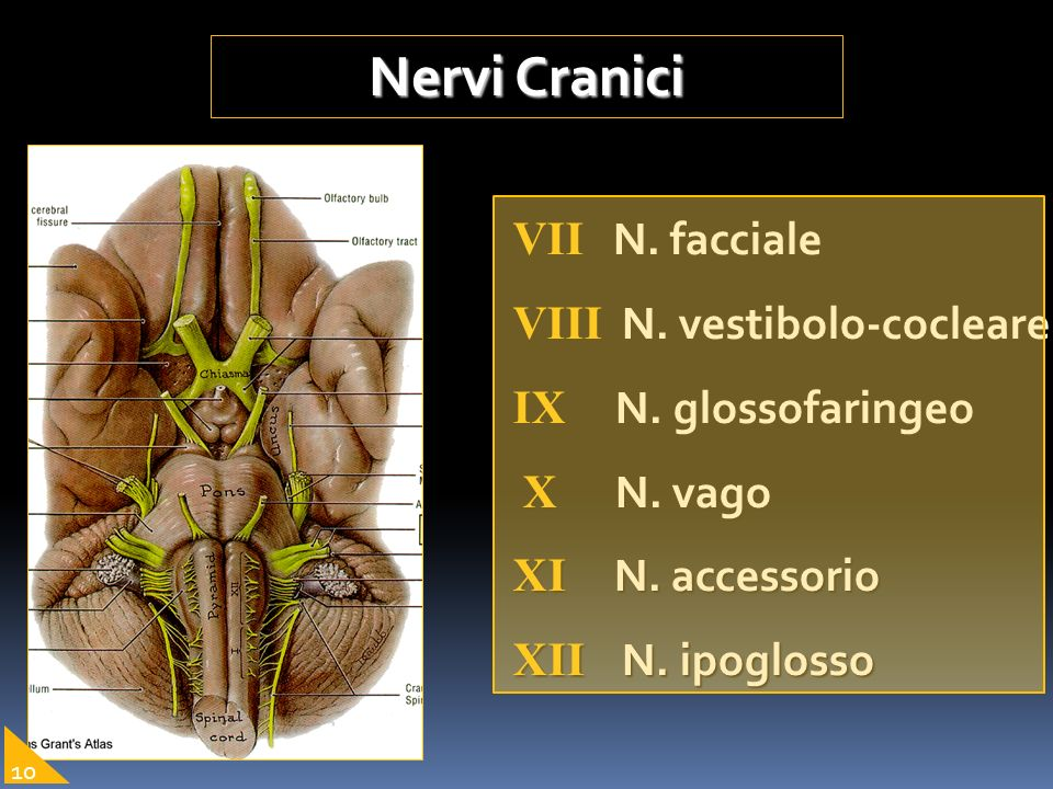 Nervi Cranici VII N. facciale VIII N. vestibolo-cocleare