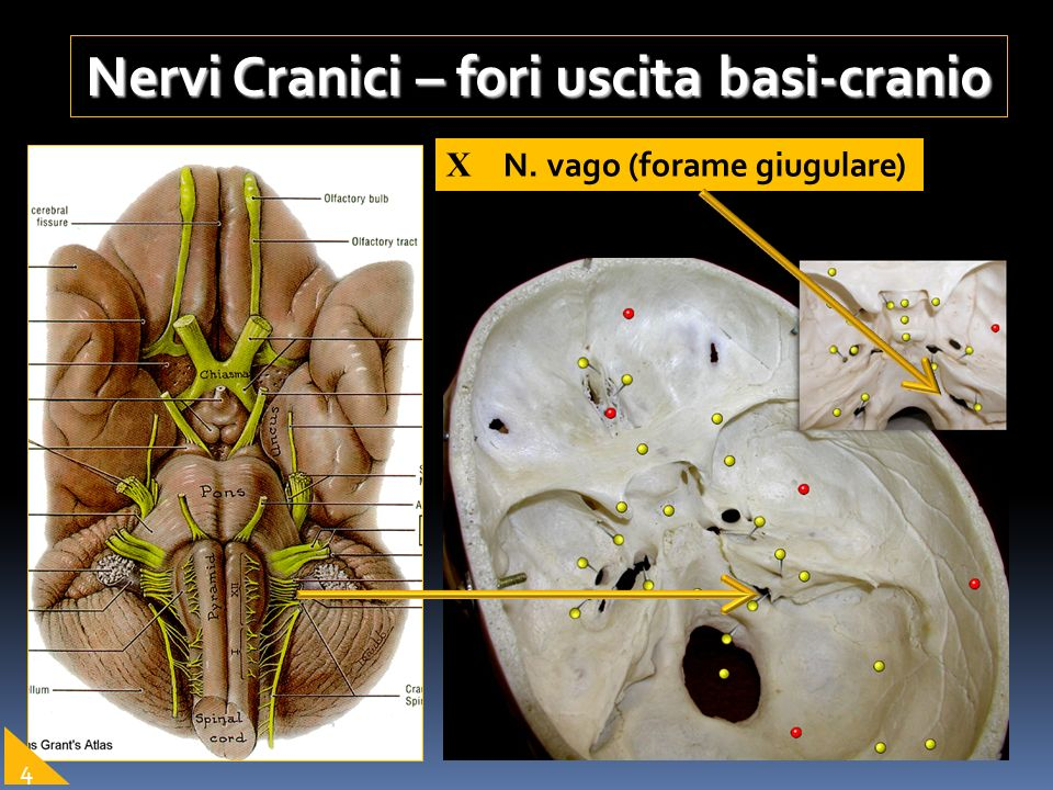 Nervi Cranici – fori uscita basi-cranio