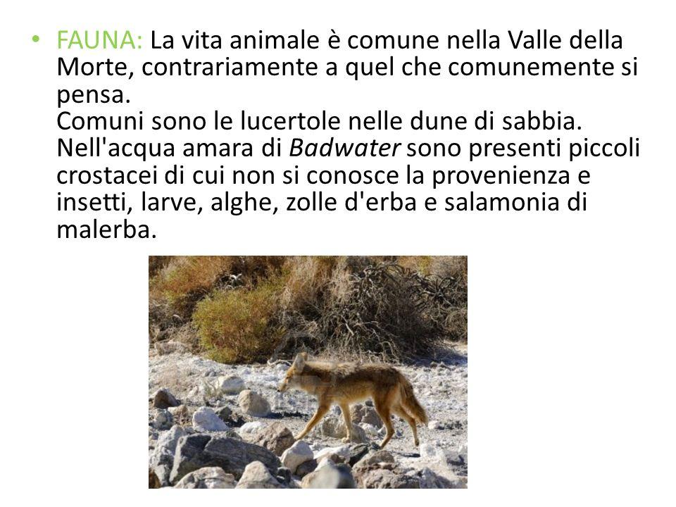 FAUNA: La vita animale è comune nella Valle della Morte, contrariamente a quel che comunemente si pensa.