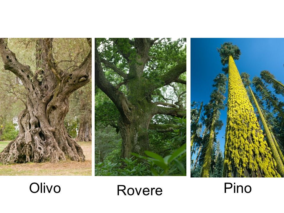 Olivo Pino Rovere
